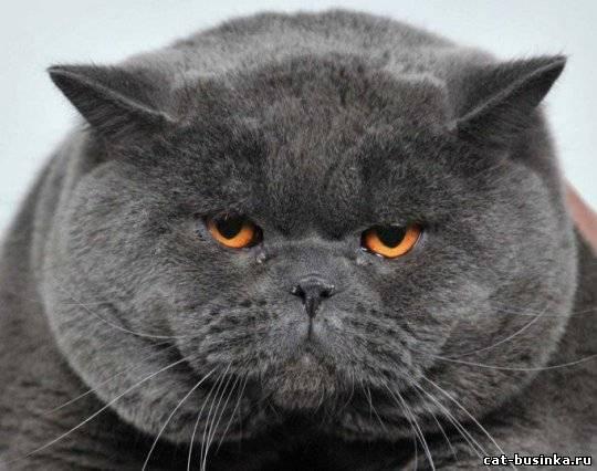 Кот британец толстый фото